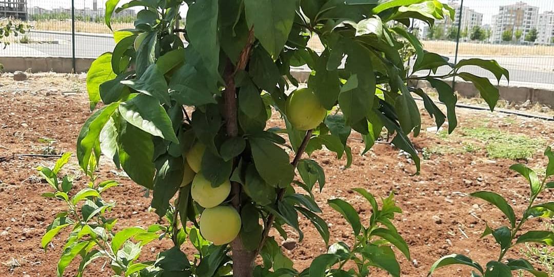 Kent içi tarım, meyve vermeye başladı