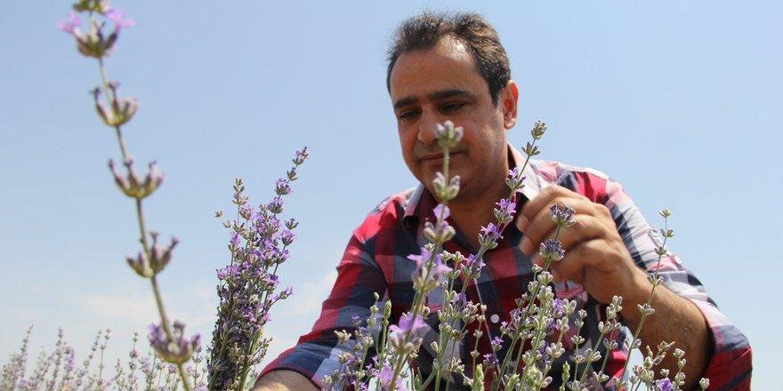 Diyarbakır'da lavanta bahçesi