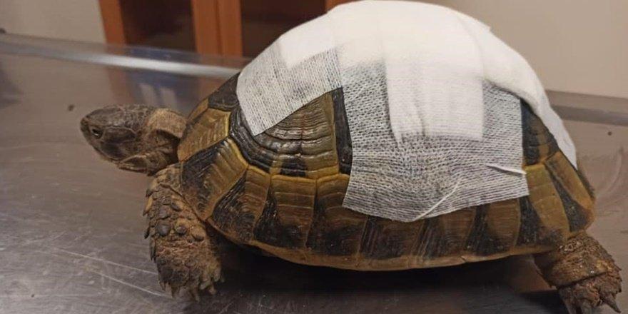 Şanlıurfa'da tedavi edilen kaplumbağa doğaya bırakıldı