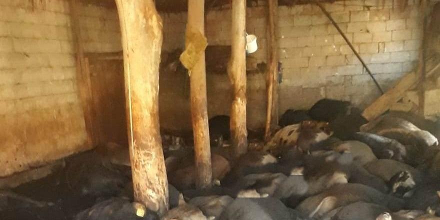 Yüksekova'da 50 büyükbaş hayvan havasızlıktan telef oldu