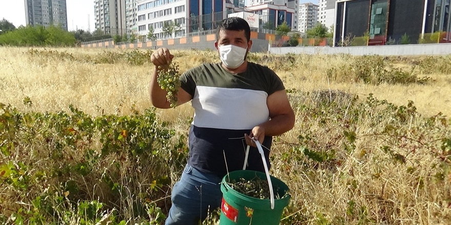 Diyarbakır'da lüks binalar arasında üzüm hasadı