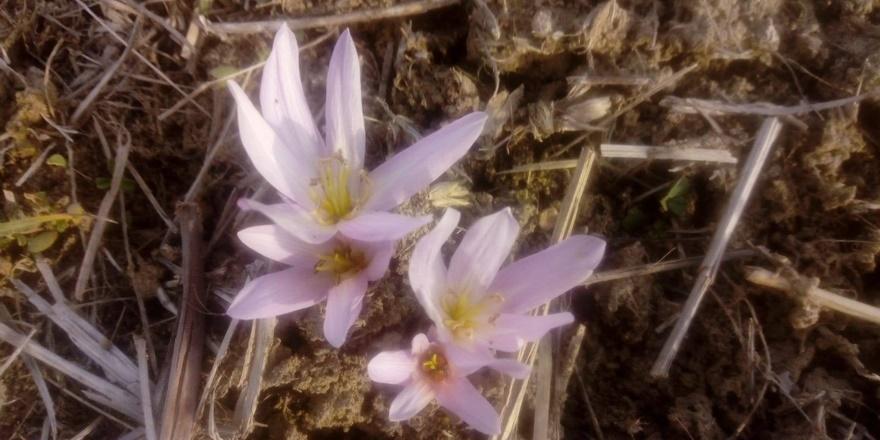 Diyarbakır'da 'baharın müjdecisi' ocak ayında çiçek açtı