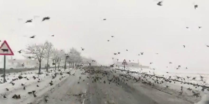 Diyarbakır'da yiyecek bulamayan kuş sürüleri yollara indi