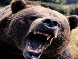 Rewşa şivanê ku rastî êrîşa hirçekî hat xedar e