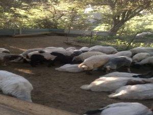 Bitlis'te başıboş köpekler 10 koyunu telef etti