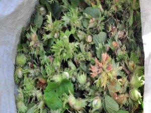 Bitlis'te  fındık hasadı başladı