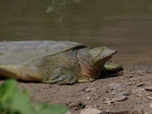 Fırat kaplumbağası yok olmakla karşı karşıya