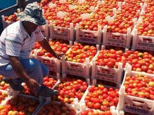 Adilcevaz'da domates hasadı başladı