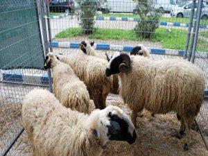 Koyun, keçi desteklemeleri için başvuru uyarısı