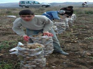 Patates muz fiyatına satılıyor