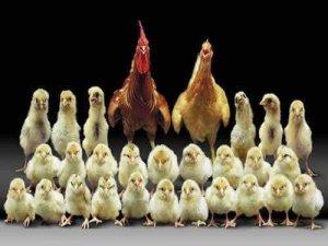 20 bin civciv ayda 7 bin kazandırıyor