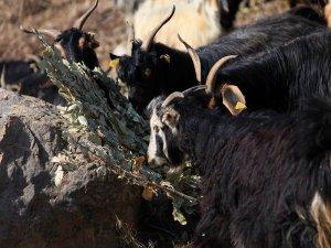 Köylüler Meşe'nin yapraklarıyla hayvanlarını doyuruyor
