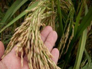 Pirinç tohumları ile Filipinli tayfun mağdurları günü kurtarabilir