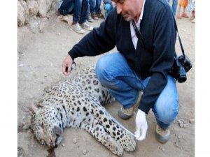Jandarma, leopar'ın vurulduğu  alanda arama yaptı