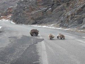Ovacık'ta boz ayılar görüntülendi