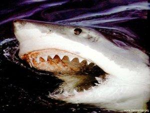 Köpekbalığı yağı nerdeyse her derde deva