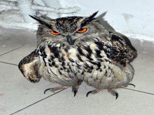 Yaralı Puhu kuşu tedavi edildi