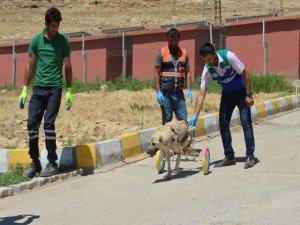 Ayaklarını kaybeden köpek yürüteçle hayata tutundu