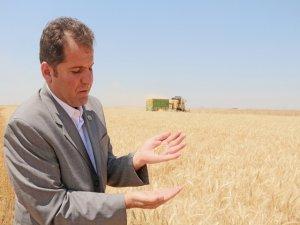 Yenişehir'de Buğday hasadı sürüyor