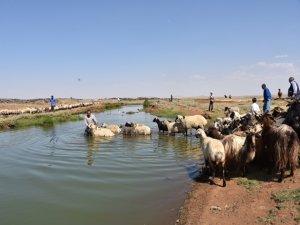 Koyun ve keçilerini derede serinletiyorlar