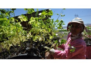 """Türkiye'de bir ilk: """"Moringa Oleifera"""""""