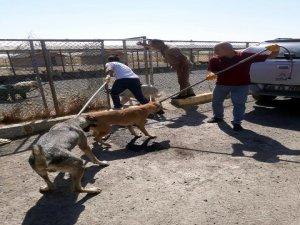 Başıboş sokak köpekleri toplatılıyor