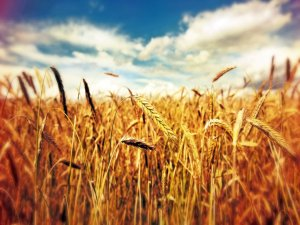 Çiftçilere ödenecek destek miktarı belli oldu