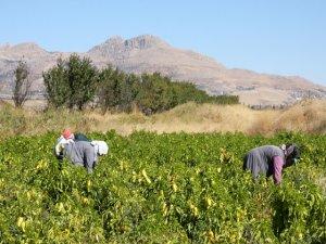 Ergani'de salça üretimi