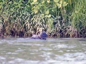 Dicle Nehri'nde 3 su samuru görüntülendi