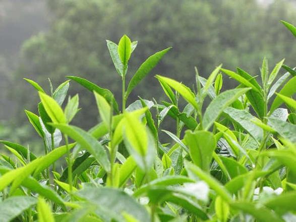 Beyaz Çay'ın bilinmeyen faydaları