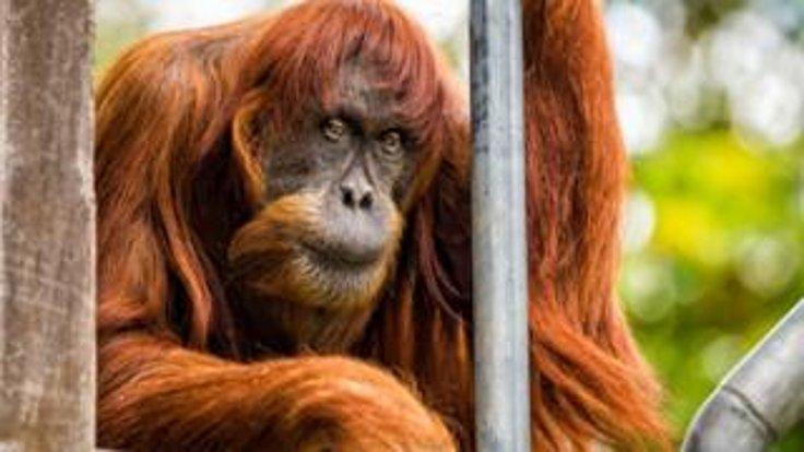Dünyanın en yaşlı Sumatra orangutanı öldü