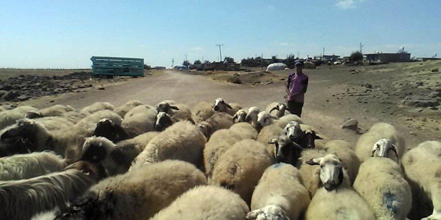 Çobanların Sıcakla İmtihanı