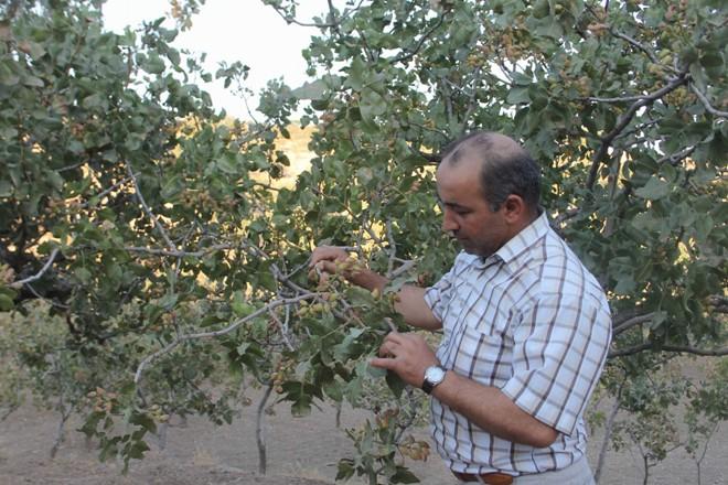 Çiftçiler 'yeşil altın' hasadına hazırlanıyor