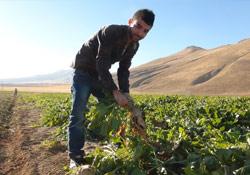 Bitlis'te şeker pancarı hasadı başladı