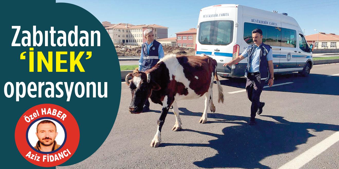 Zabıtadan 'inek' operasyonu