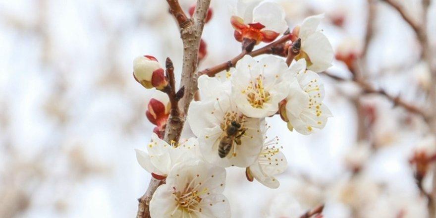 VİDEO - Kayısılar çiçek açtı