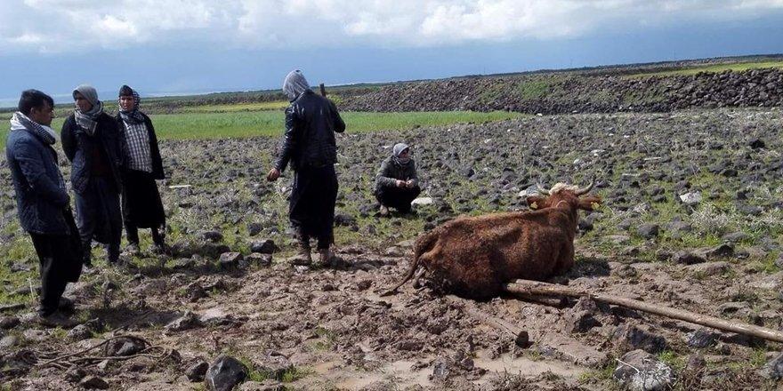 Çamura saplanan ineği köylüler kurtardı