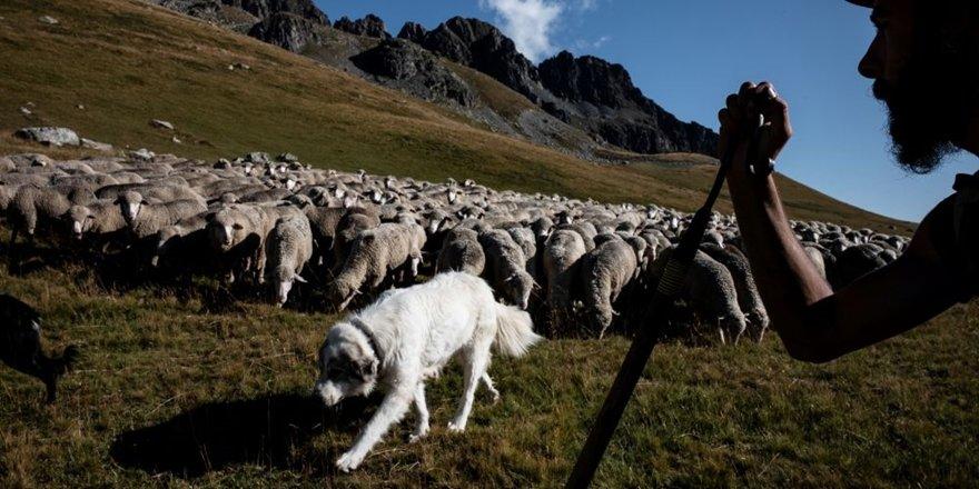 15 koyunu okula kaydettiler