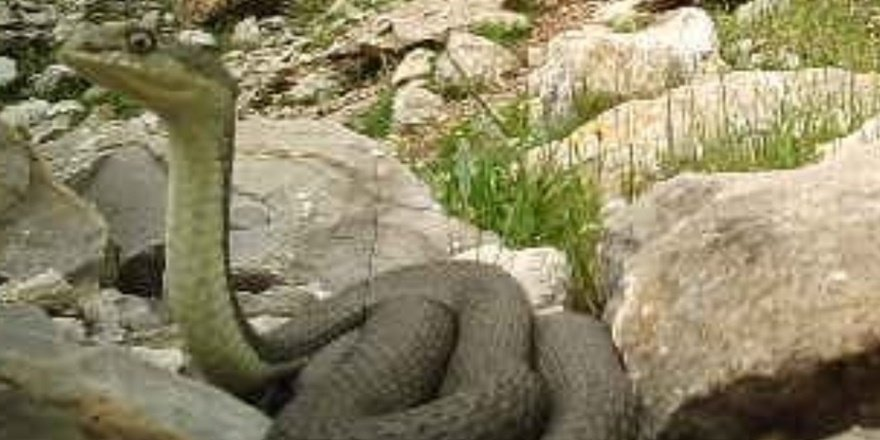Dev yılan görüntülendi