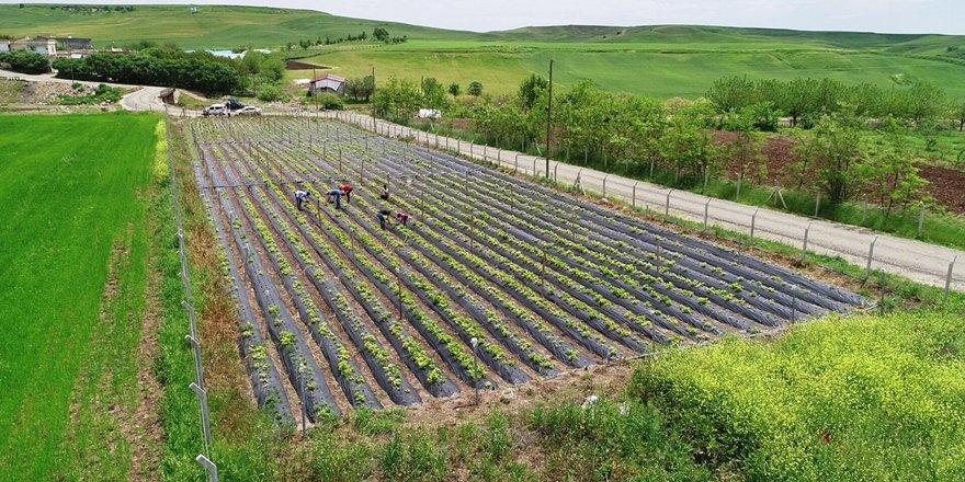 VİDEO - Diyarbakır'da organik çilek hasadına başlandı
