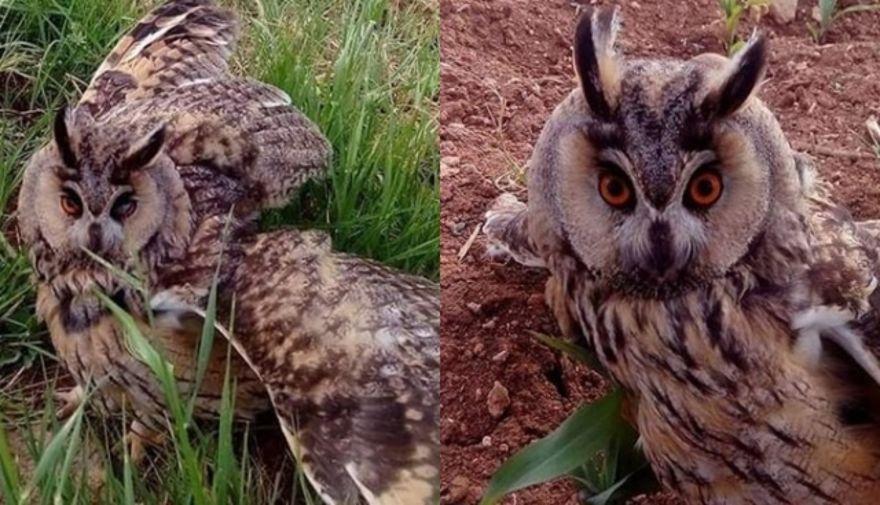 Diyarbakır'da boynuzlu baykuşa rastlandı