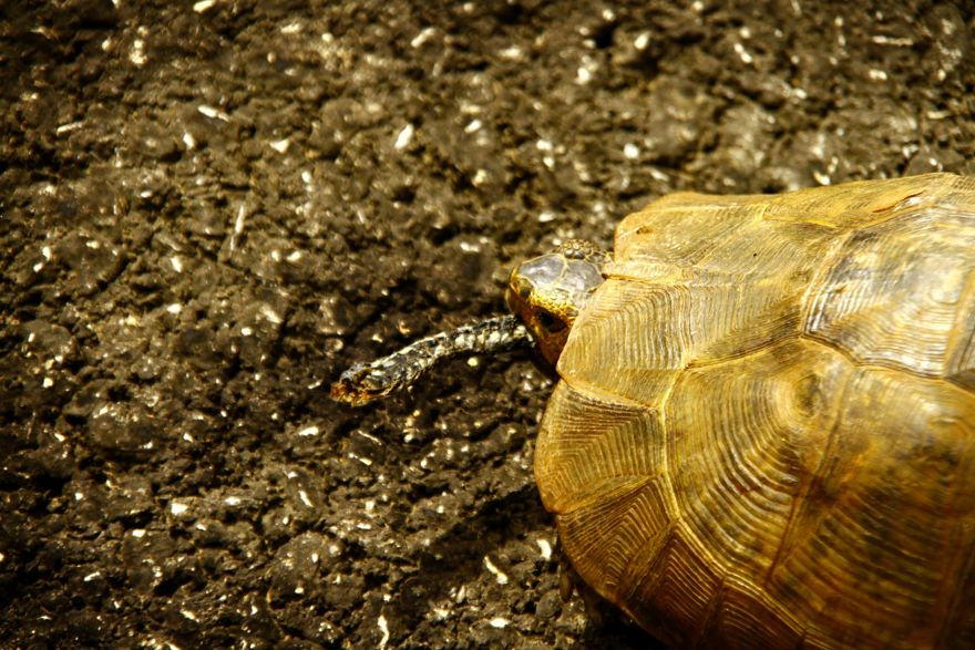 Yılan yiyen kaplumbağa
