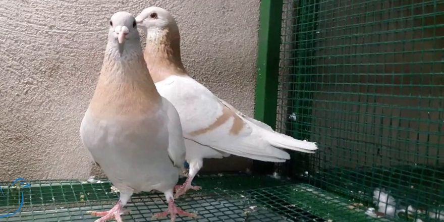 Güvercinler bin kilometre mesafeden yarışacak