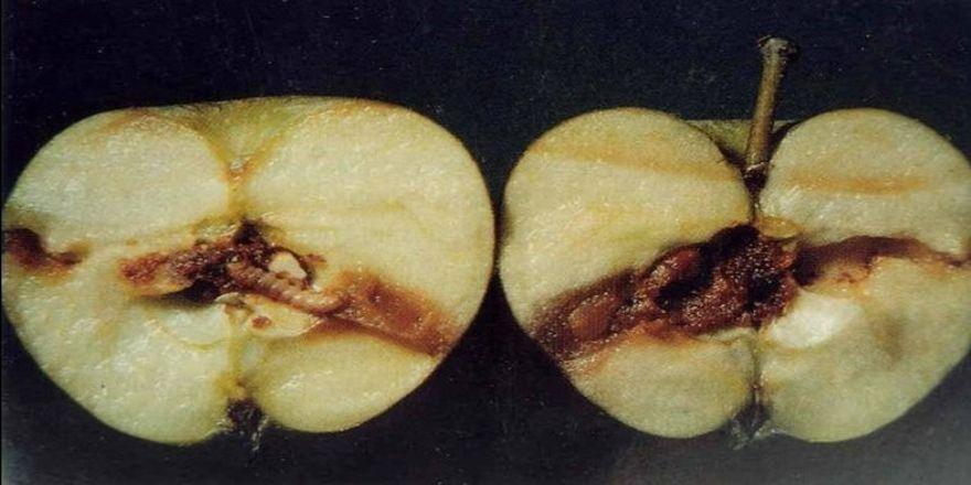 Van'da elma iç kurdu uyarısı