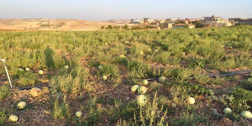 Mardin'de karpuzlar tarlada çürüdü