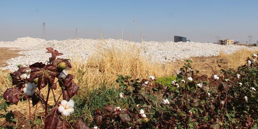 Pamuk hasadı yapan çiftçilerin dikkatine: Sağanak yağış geliyor