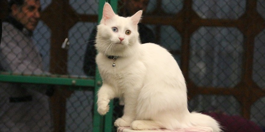 Van kedisi dünya güzeli