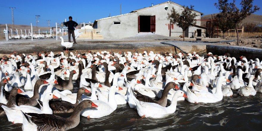 Van'da yetiştirilen kazlar ihraç ediliyor