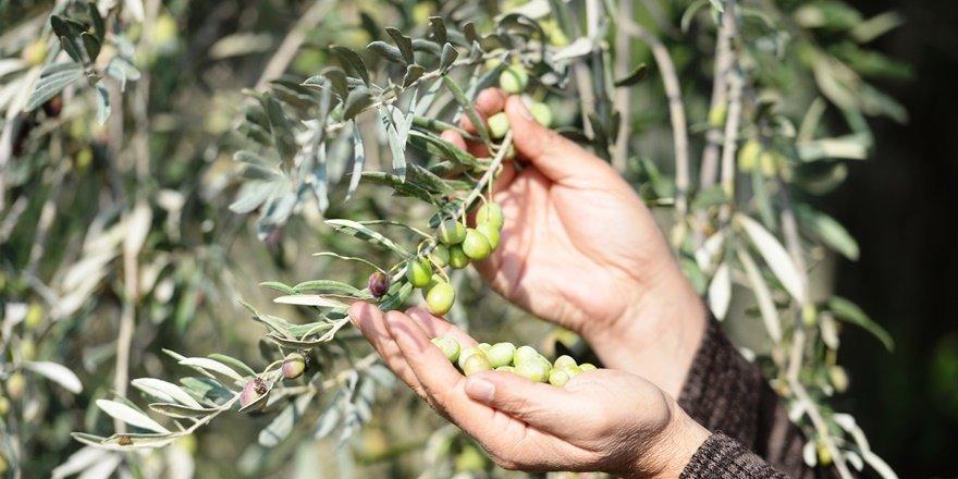 Derik zeytini ödüllü yağa dönüşüyor