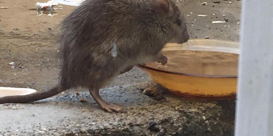 VİDEO - Diyarbakır'da tabaktan su içen fare, görenleri hayrete düşürdü
